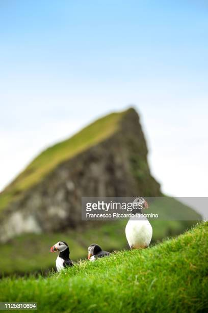 puffins in mykines, faroe islands - islas faroe fotografías e imágenes de stock