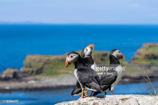 puffins of lunga - janet scott stock pictures, royalty-free photos & images