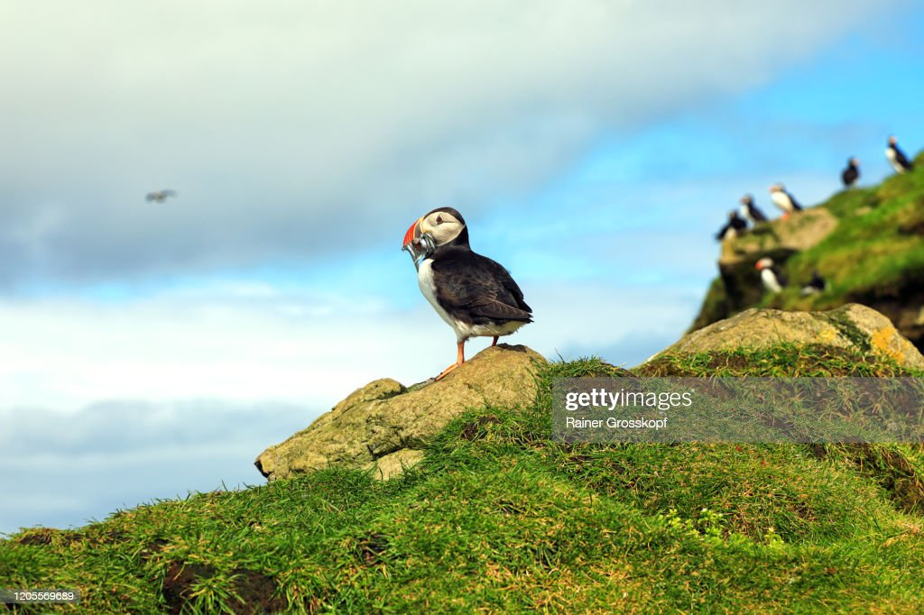 Puffins on a grassy cliff high above the ocean on Mykines Island : Stock-Foto