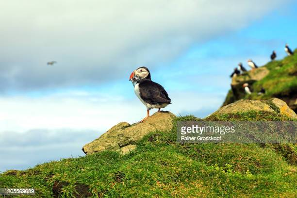 puffins on a grassy cliff high above the ocean on mykines island - rainer grosskopf stock pictures, royalty-free photos & images