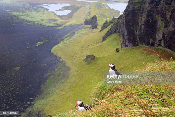 Puffins on cliff.