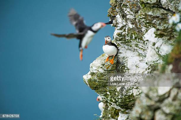 puffins on rocks - bridlington stock pictures, royalty-free photos & images