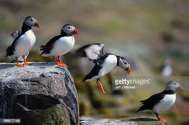 Puffins return to their summer breeding grounds on the Farne Islands as National Trust rangers carry out a Puffin census on the Farne Islands on May...