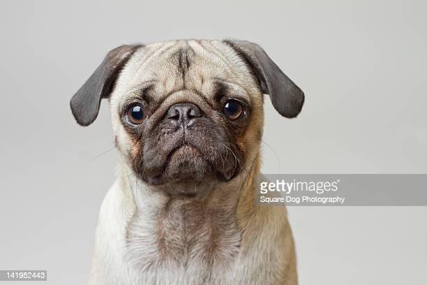 Pug against white background