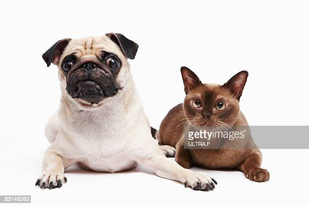 pug and burmese cat - burmese cat stock pictures, royalty-free photos & images