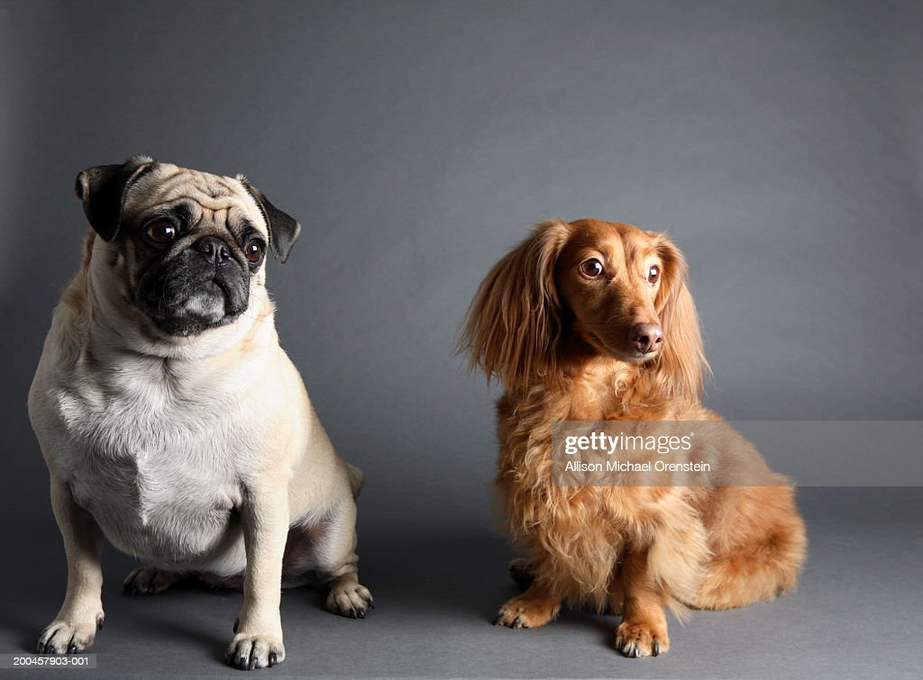 Pug And Long Haired Dachsund Stock Foto Getty Images