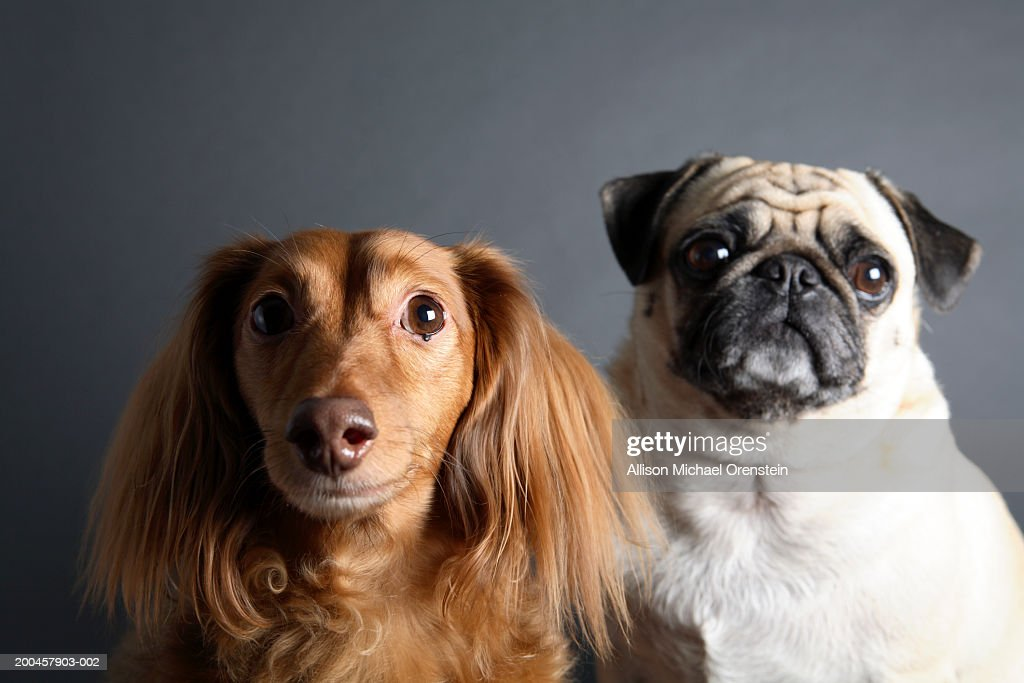 Pug And Long Haired Dachsund Stock Photo Getty Images