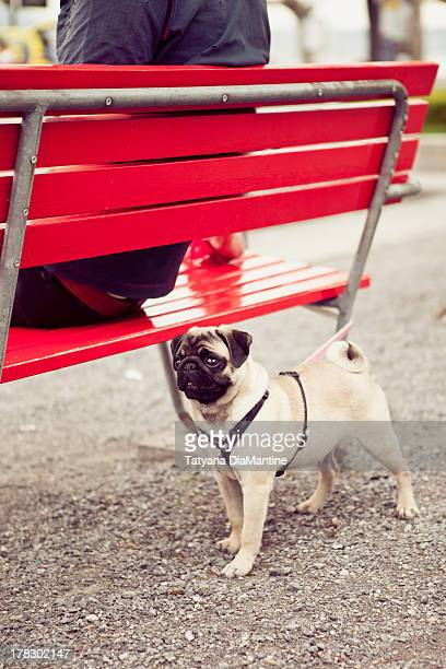 Pug by the red bench