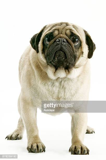 Pug Carlin Mops Canis familiaris standing looking to camera