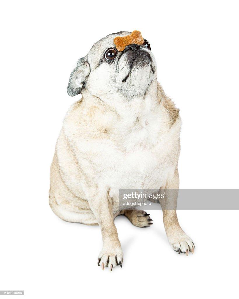 Pug Dog Balancing Treat on Nose : Stock Photo