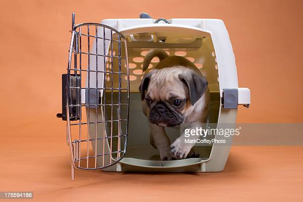 Pug dog in a travel crate