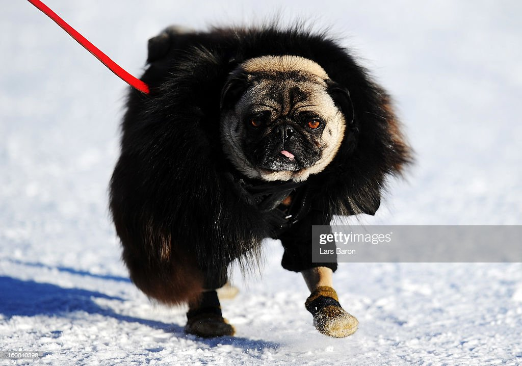 A pug dog is seen during the Polo World Cup on Snow match between team Ralph Lauren and team Cartier on the frozen Lake St Moritz on January 25, 2013 in St Moritz, Switzerland.