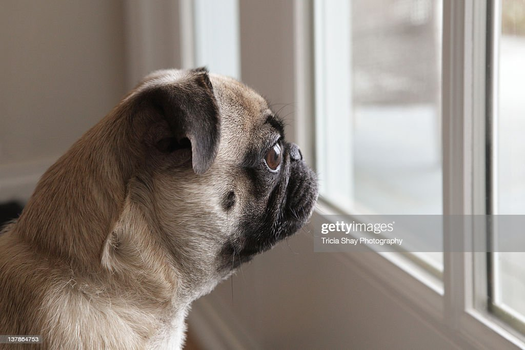 Pug Dog Looking Out Glass Door Stock Photo Getty Images