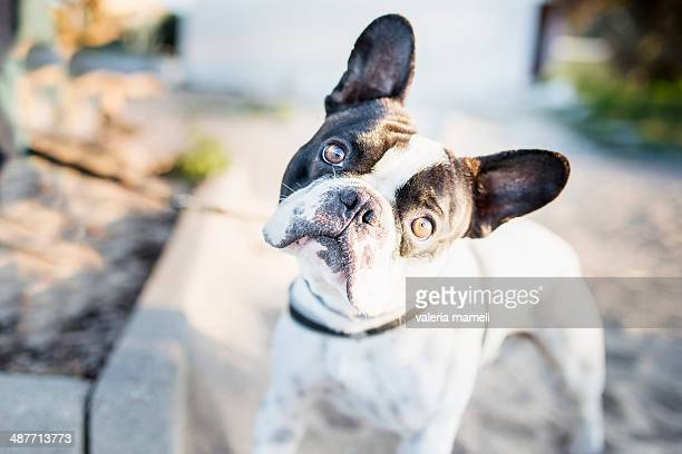 Pug dog looks into the camera