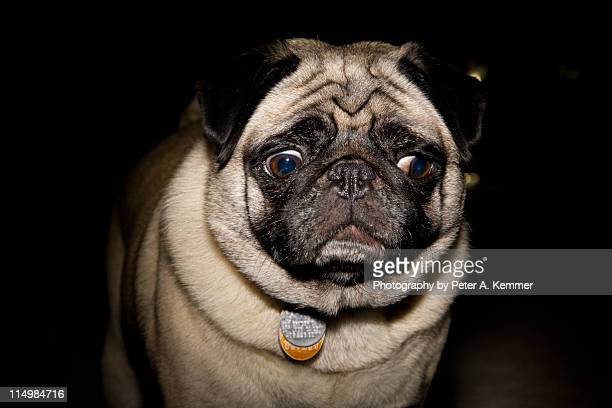 pug dog making skeptical confused face - confused stock photos and pictures