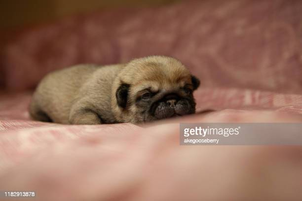 pug dog new born - ugly baby stock photos and pictures