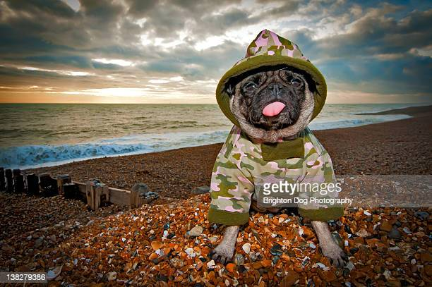pug dog sits in camouflage coat on brighton beach - camouflage stock pictures, royalty-free photos & images