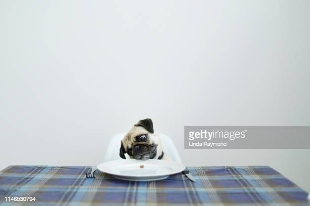 pug dog sitting at a dinning table - 空腹 ストックフォトと画像