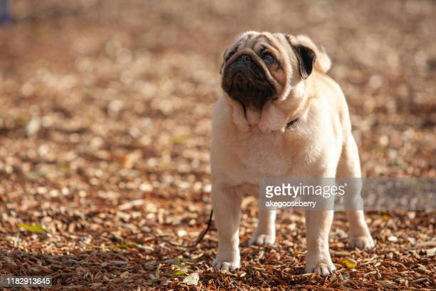 pug dog stud - ugly dog stock pictures, royalty-free photos & images