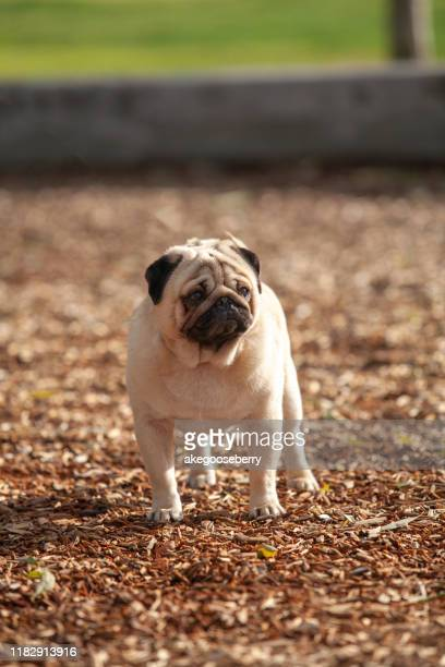pug dog stud - vertebrate stock pictures, royalty-free photos & images
