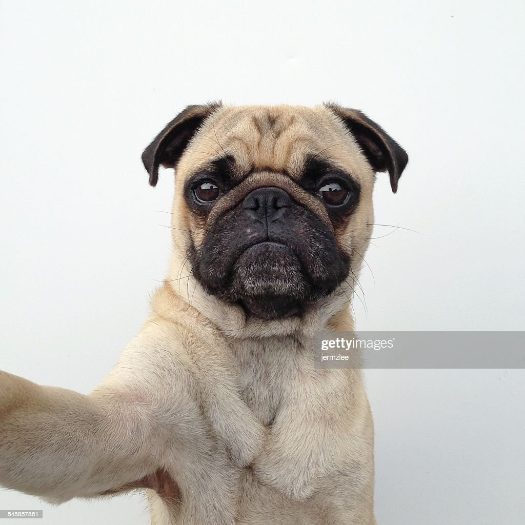 Pug dog taking a selfie : Stock Photo