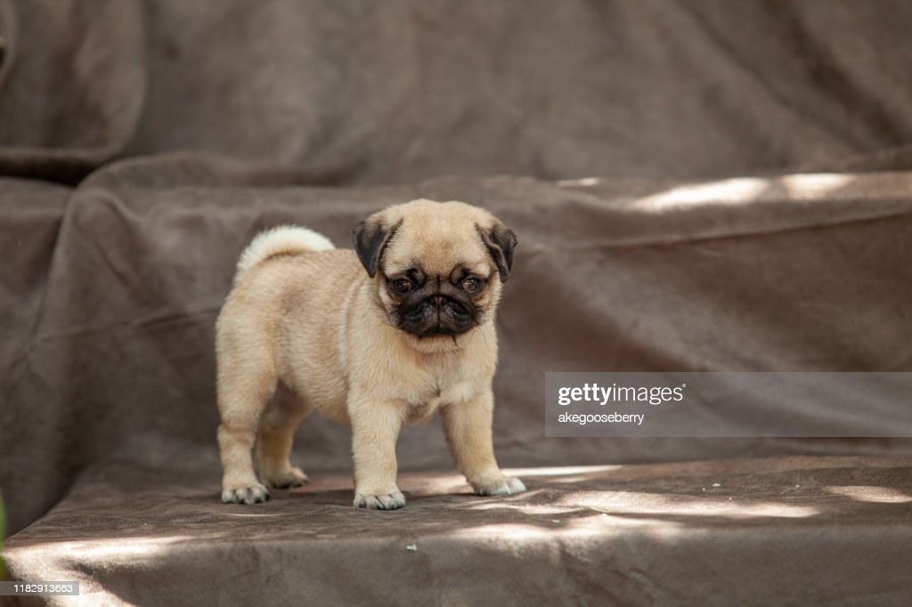 Pug dog very cute : Stock Photo