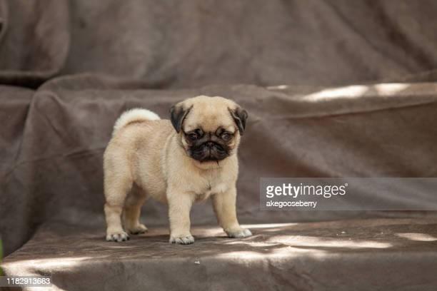 pug dog very cute - ugly baby - fotografias e filmes do acervo