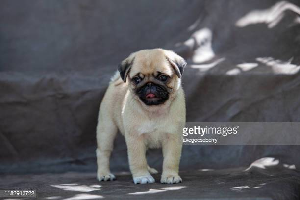 pug dog very cute - ugly baby stock photos and pictures
