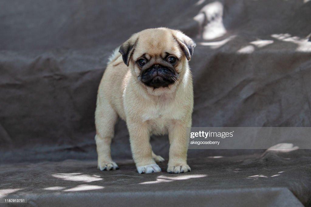 Pug dog very cute : Stock Photo