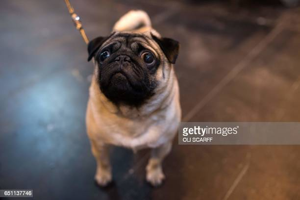A Pug dog waits to be shown on the second day of the Crufts dog show at the National Exhibition Centre in Birmingham central England on March 10 2017...