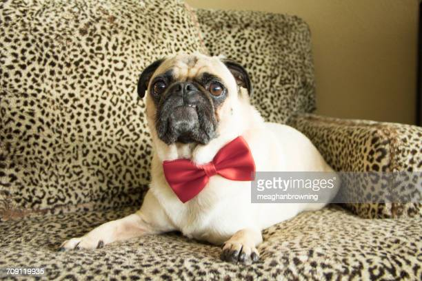 Pug dog wearing a bow tie