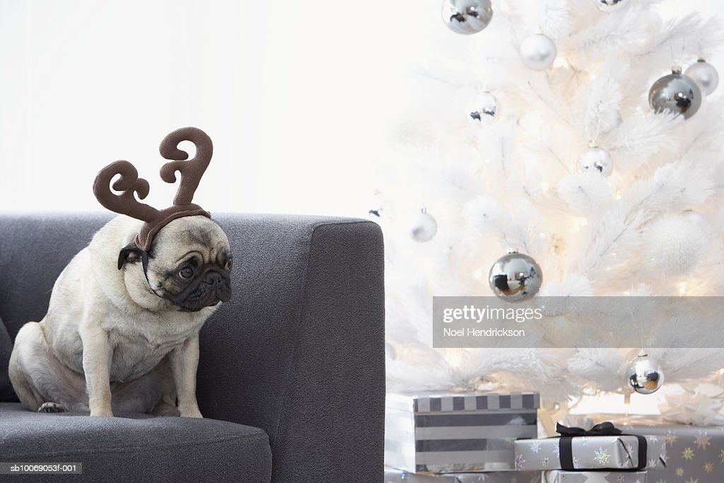 Pug dog wearing reindeer horns on couch next to Christmas tree : Stockfoto