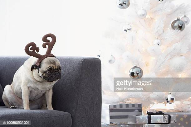 Pug dog wearing reindeer horns on couch next to Christmas tree