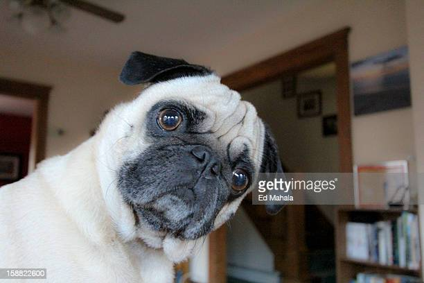 pug dog with head turned. - head cocked stock pictures, royalty-free photos & images