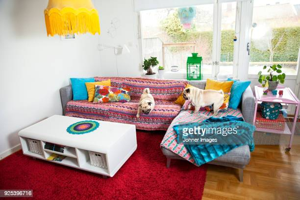 Pug dogs playing on sofa in living room