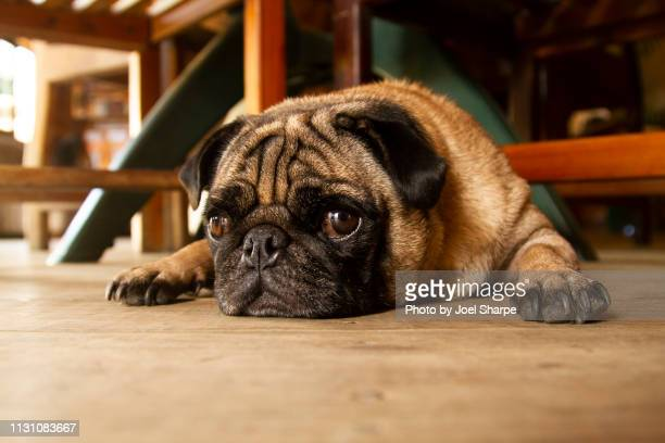 a pug flopped on the floor - floorboard stock photos and pictures