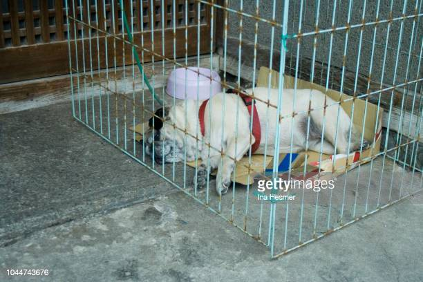 pug in a cage, hase dera, sakurai, japan - dog cruelty stock pictures, royalty-free photos & images