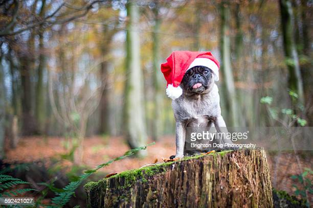A pug in a Santa hat