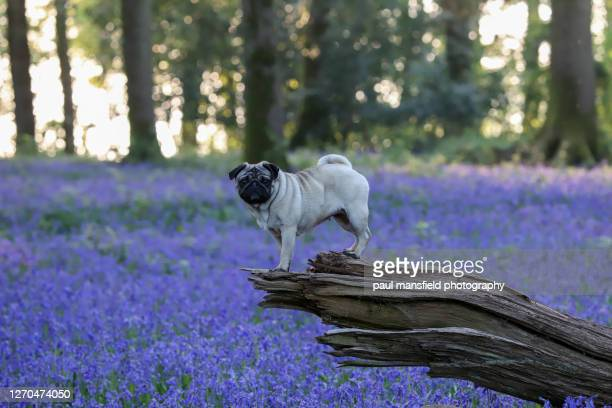 "pug in bluebell forest - ""paul mansfield photography"" stock pictures, royalty-free photos & images"