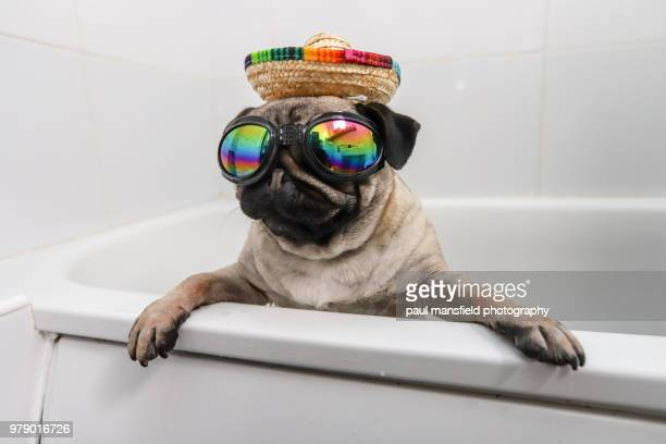 pug in fancy dress - pet clothing stock pictures, royalty-free photos & images