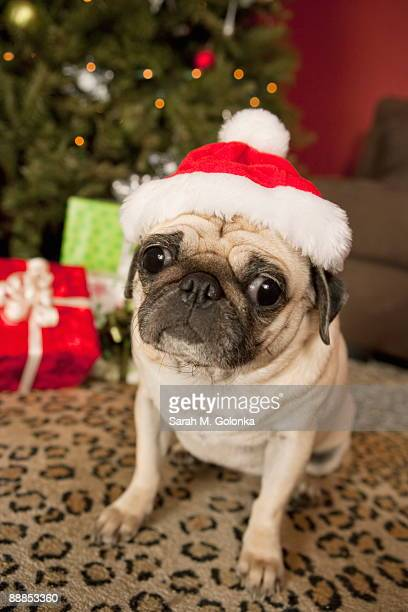 Pug in Santa Claus Hat sitting on carpet, Christmas tree and Christmas presents in background