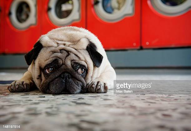 pug laying on laundromat floor - waiting stock pictures, royalty-free photos & images