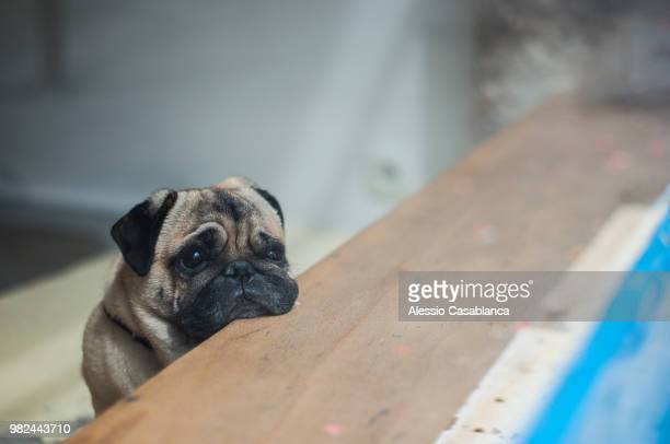 A pug leaning on a table