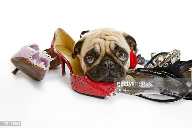 Pug Looks Sad after Chewing on Dress Shoes