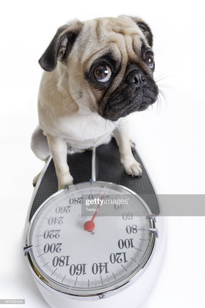 Pug Looks Up as She Weighs Herself on Weight Scale : Stock Photo
