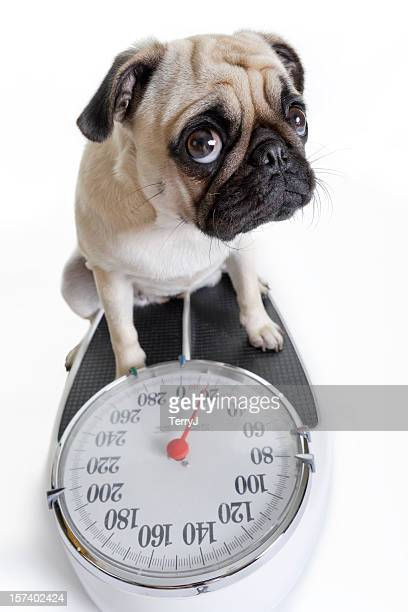 Pug Looks Up as She Weighs Herself on Weight Scale
