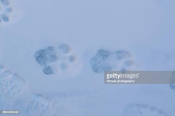 pug marks - leopardo delle nevi foto e immagini stock