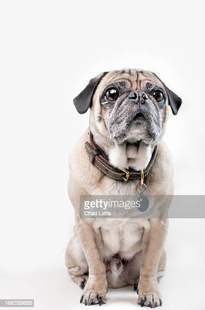 pug on a white background - collar stock pictures, royalty-free photos & images