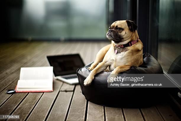 pug on porch - sacco photos et images de collection