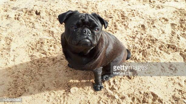 pug on the beach - ugly duckling stock photos and pictures